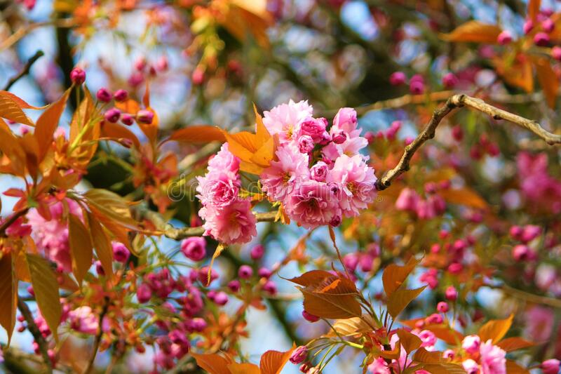 Pink Spring cherry blossom against a blue sky. royalty free stock photos