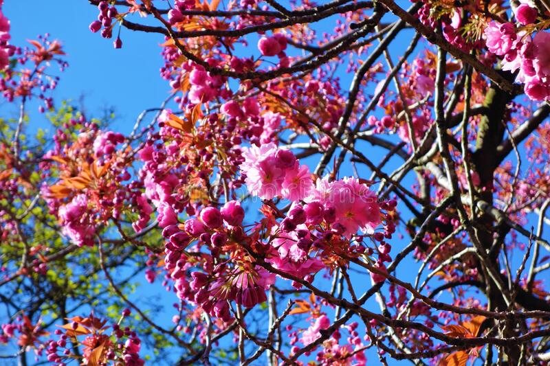 Pink Spring cherry blossom against a blue sky. stock photography