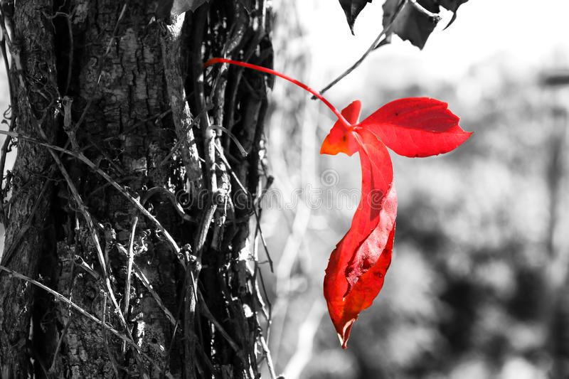 Close up image of red autum leaf and tree trunk. selective color royalty free stock photos
