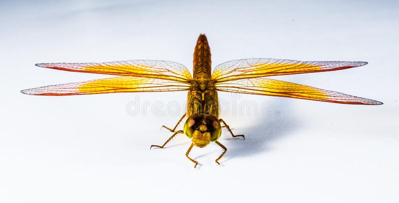 Close Up Image Of Red Yellow Black And Brown Dragonfly Free Public Domain Cc0 Image