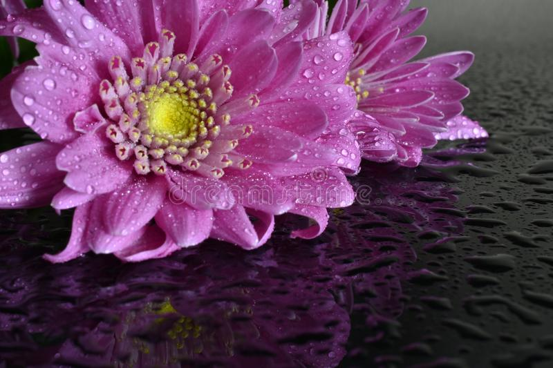 Bright Pink Daisy. A close up image of a single bright pink daisy covered in dew drops stock images