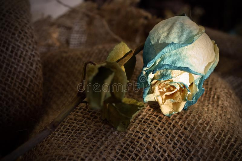 Single Dried Rose royalty free stock images