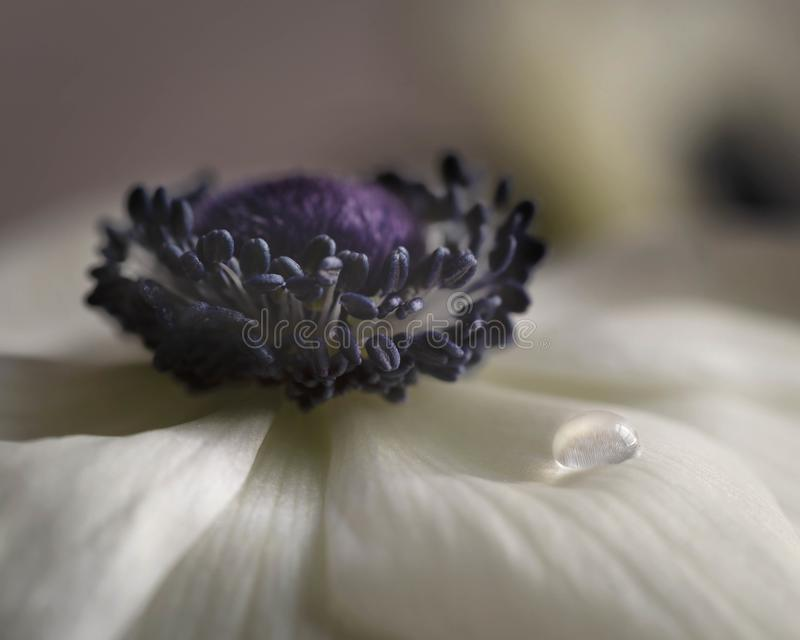 White Anemone with single water droplet royalty free stock photos