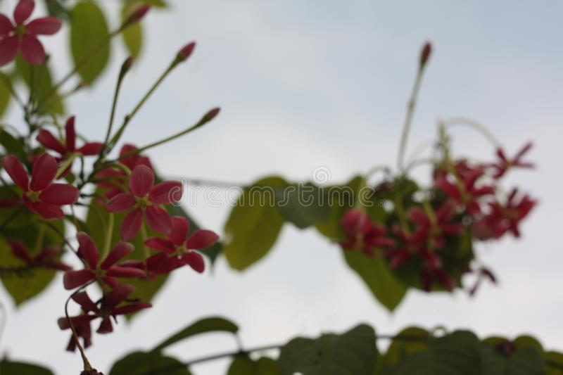 Close up image of a stunning beautiful Chinese Honeysuckle flowers. royalty free stock photo