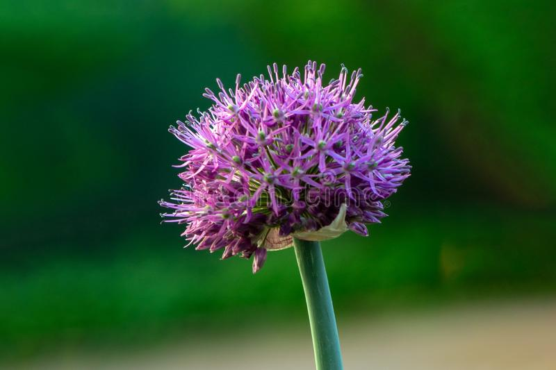 Close-up image of the summer flowering Allium flower. Soft background stock image
