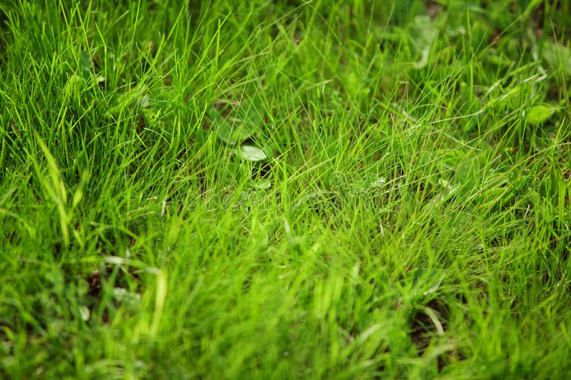 Close-up image of summer juicy green grass on the ground. Beautiful spring herb royalty free stock photos