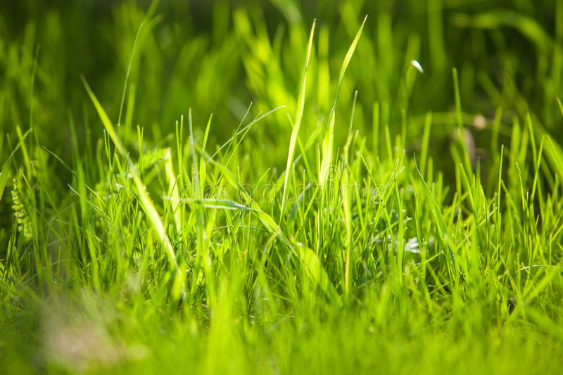 Close-up image of summer juicy green grass on the ground. Beautiful spring herb royalty free stock photo