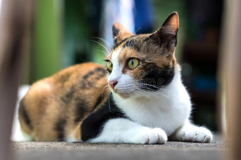 Close-up of three-colored cat staring side. royalty free stock photo