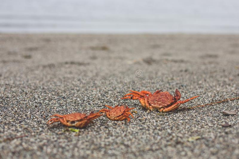 Close-up Image of three dry dead red crabs on the pebble beach royalty free stock image