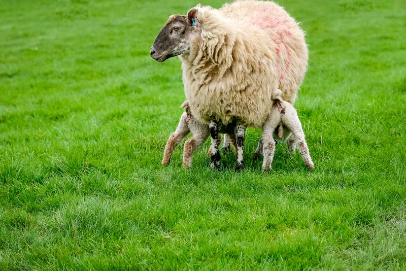 Sheep with two hungry young lambs in a field royalty free stock photography