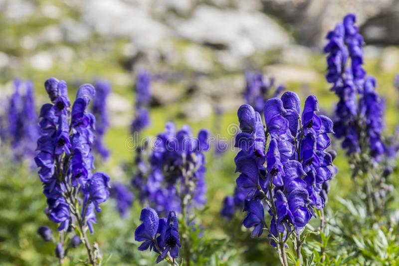 High Altitude Wildflowers royalty free stock images
