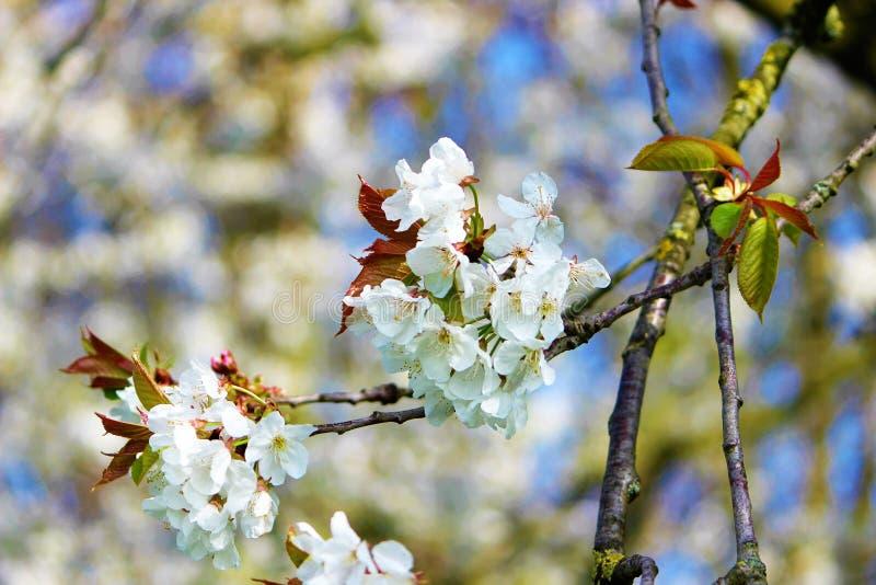 White Spring cherry blossom against a blue sky. stock photo