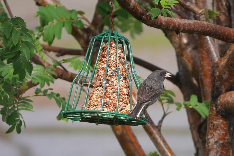 Close-up impressionante do passarinho no alimentador fotos de stock