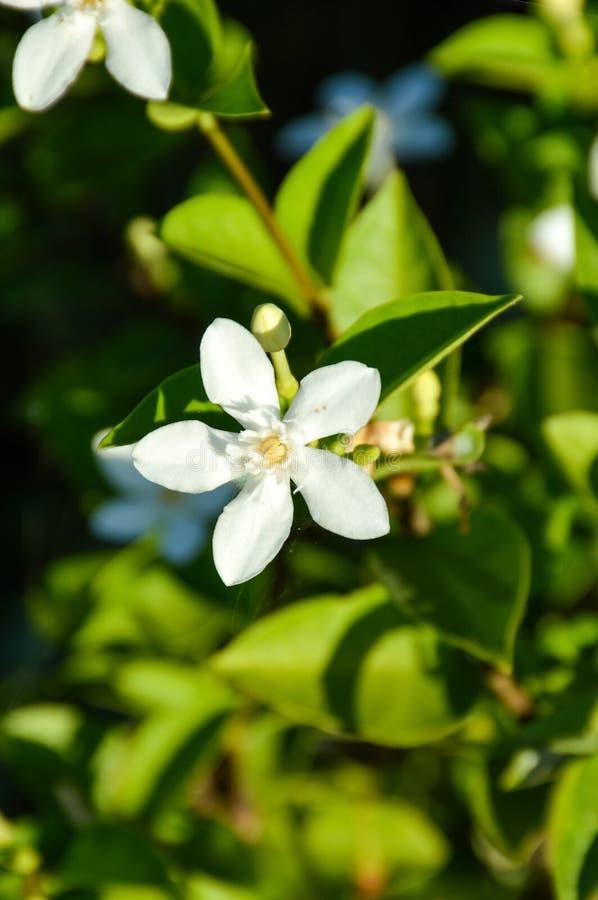 Inda white flower in garden royalty free stock images