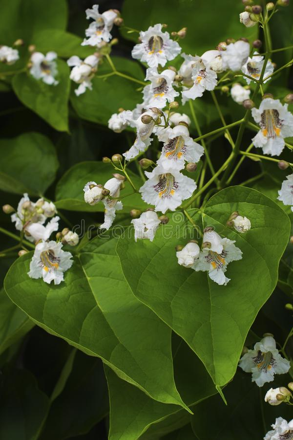 Close up of indian bean tree flowers catalpa bignonioides stock download close up of indian bean tree flowers catalpa bignonioides stock image image of blooms mightylinksfo