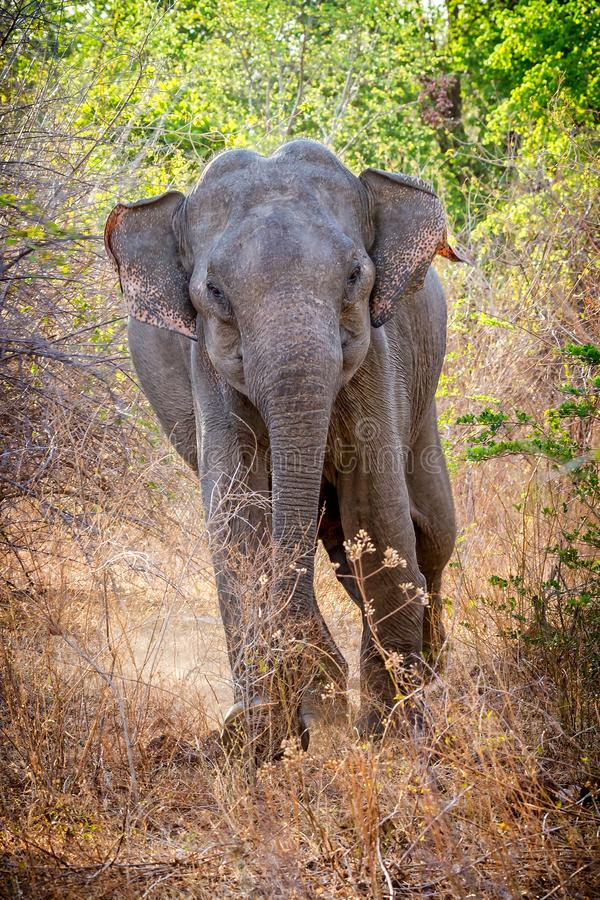 Charging wild Indian elephant stock photography