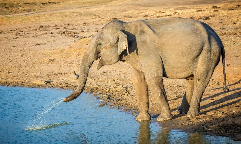 Close up of wild indian elephant squirting water royalty free stock photo