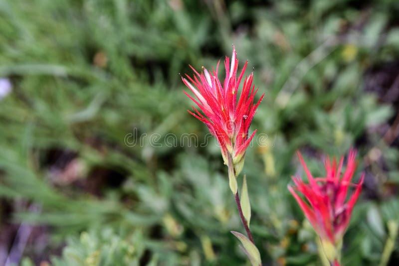 Close up of Indian paintbrush Castilleja wildflower stock photos