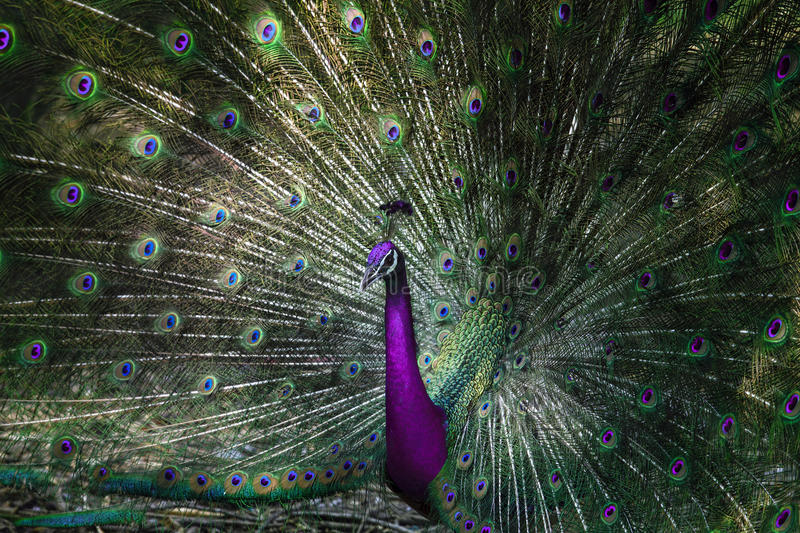 Close up of indian peacock with beautiful unreal color of tail royalty free stock images