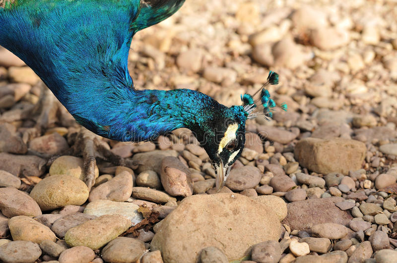 Close-up of an Indian Peafowl. A close-up shot of the majestic Indian Peafowl searching for some food between the stones stock photos
