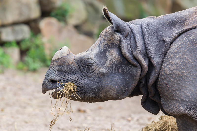 Close-up of an Indian rhino royalty free stock image
