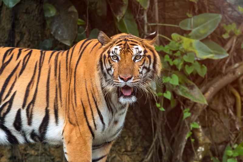 Close up of Indochinese Tiger standing in front of tunnel of forest. Panthera tigris corbetti coat is yellow to light orange with stripes ranging from dark royalty free stock photos