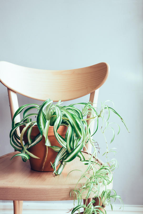 Close up of indoor pot plant on wooden chair stock photo
