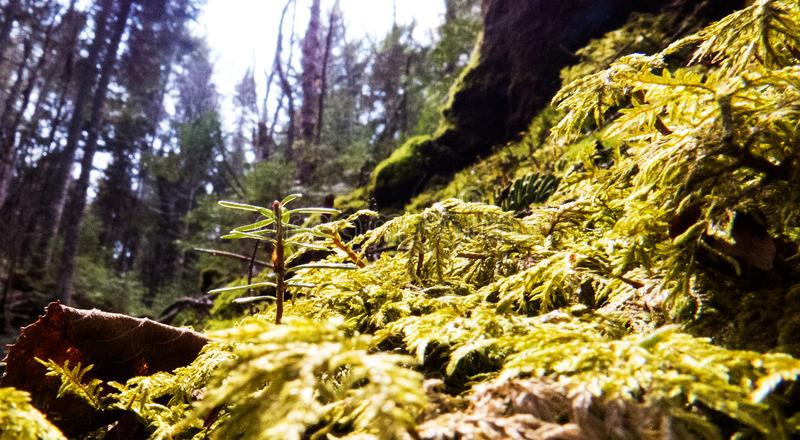 Close-up from inside a big Canadian forest royalty free stock photography