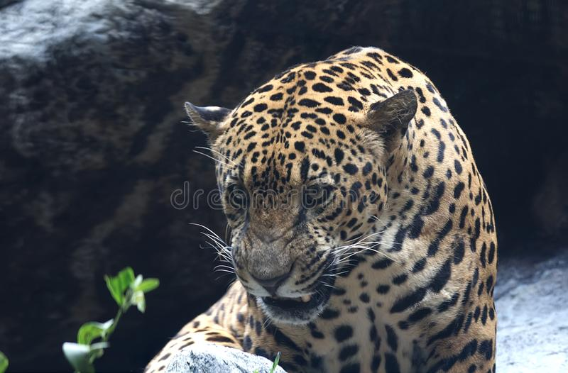 Close up irritado do leopardo foto de stock