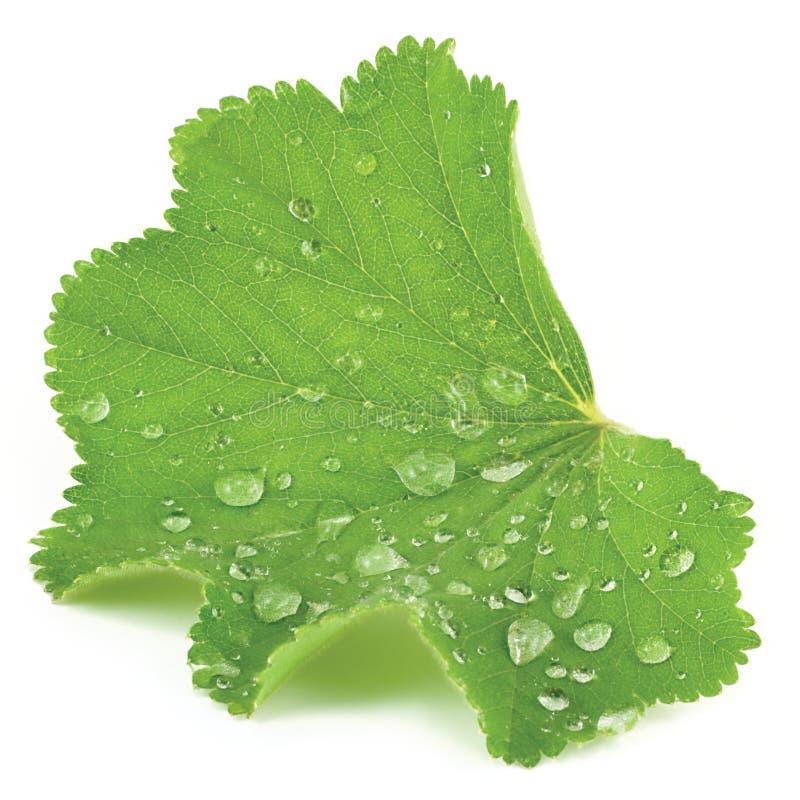 Close up isolado sumário da folha com pingos de chuva imagens de stock
