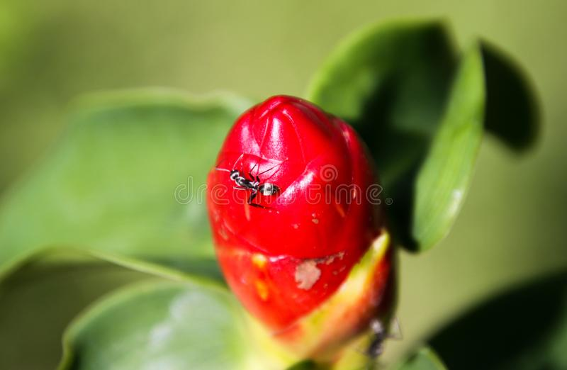 Close up of isolated ant crawling on red scarlet spiral ginger plant costus woodsonii, Chiang Mai, Thailand stock images