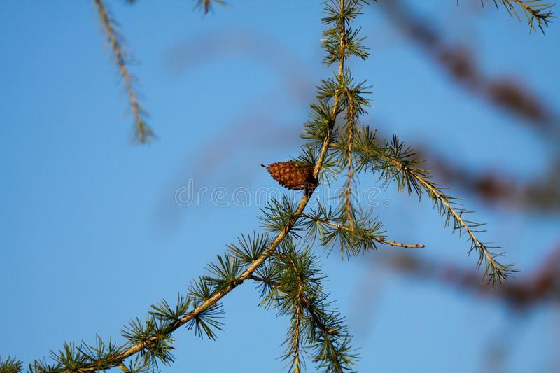 Close up of isolated branch of larch tree Larix decidua with green needles and single brown cone against blue sky - Viersen, stock photography