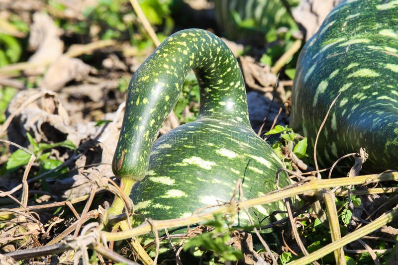 Close up isolated green funny shaped pumpkins in dry field with foliage - Netherlands stock images