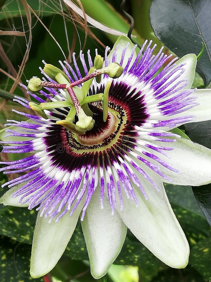 A close up of a isolated passion flower stock image