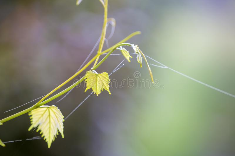 Close-up of isolated tender vintage twig sprout with spider web on green leaves on bright sunny copy space background. Postcard stock photography