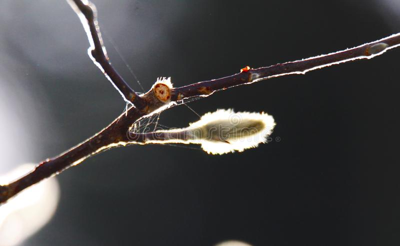 Close up of isolated yellow luminous leave with fluffy white catkins on bare branches of magnolia tree in autumn sun royalty free stock photo
