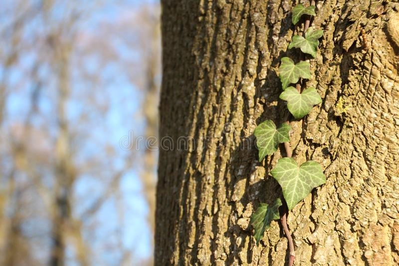 Ivy leaves on a tree bark stock photos