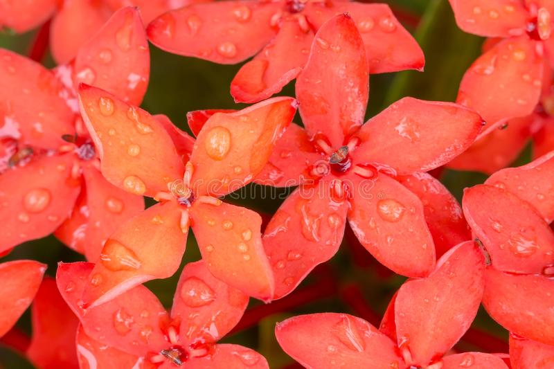 Close up Ixora Red spike flower stock image
