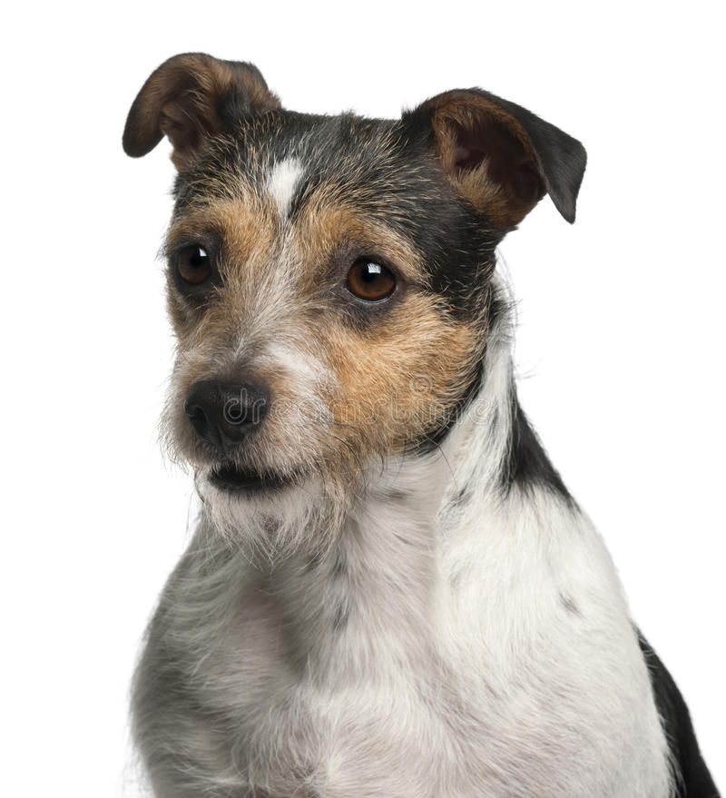 Close-up of Jack Russell Terrier, 4 years old