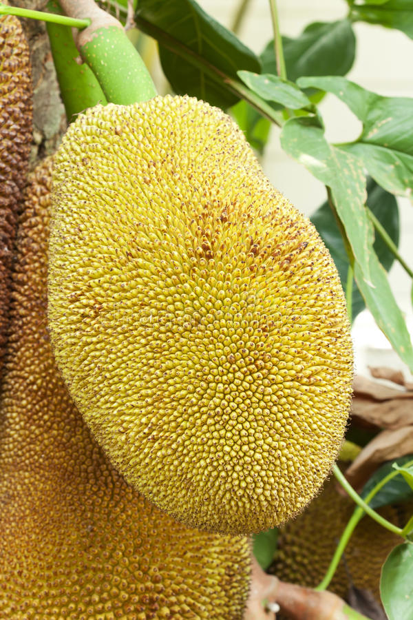 Download Close up of jackfruit stock photo. Image of food, agriculture - 23556954