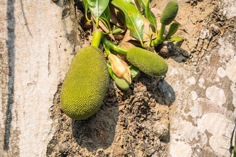 Close-up jackfruit bij boom in boomgaard onder zonlicht in de middag royalty-vrije stock fotografie