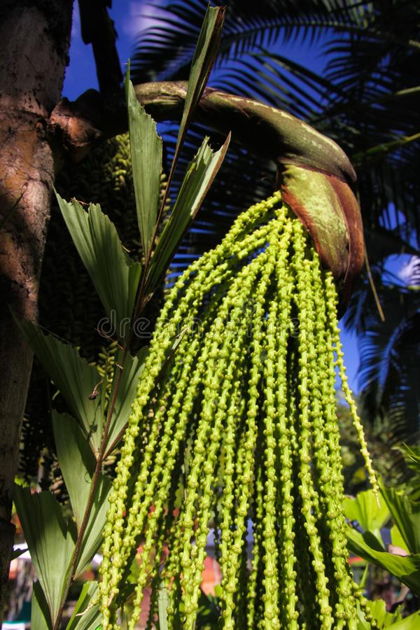 Close up of jaggery palm tree caryota urens against palm leaves and blue sky, Chiang Mai, Thailand stock photos