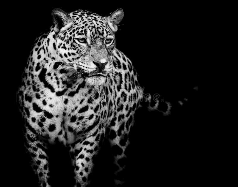 Close up Jaguar Portrait stock photos