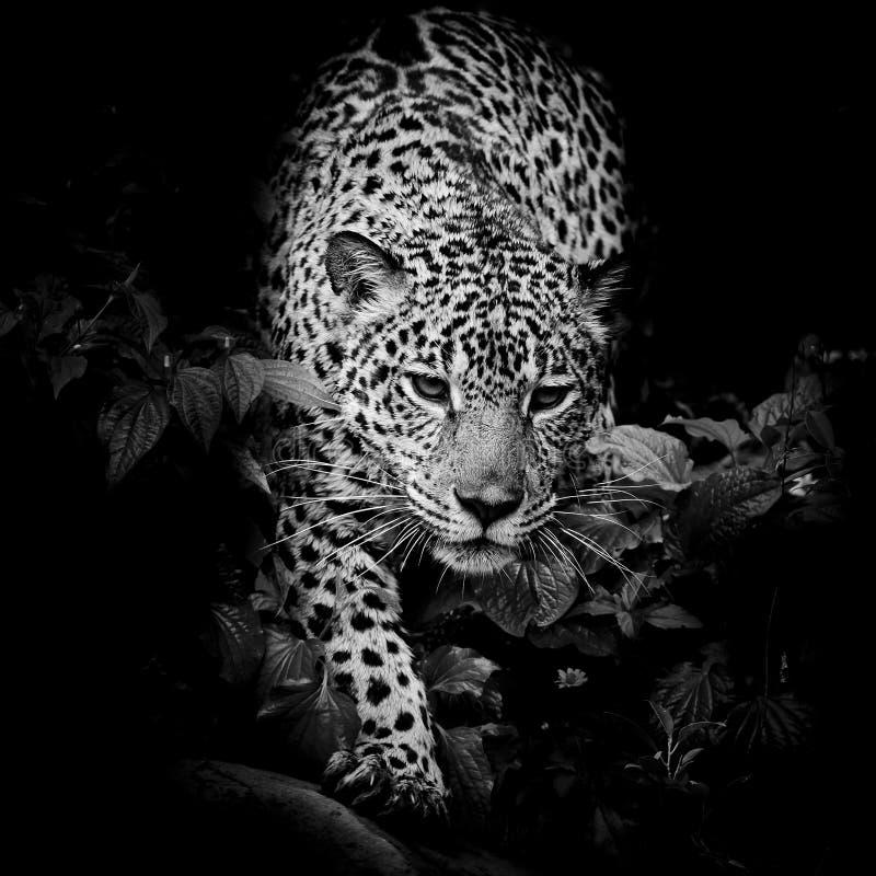 Close up Jaguar Portrait royalty free stock image