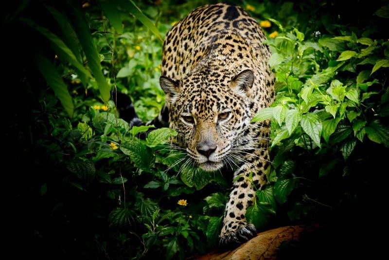Close up Jaguar Portrait stock photography