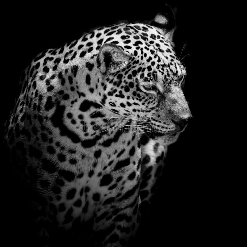 Close up Jaguar Portrait stock image