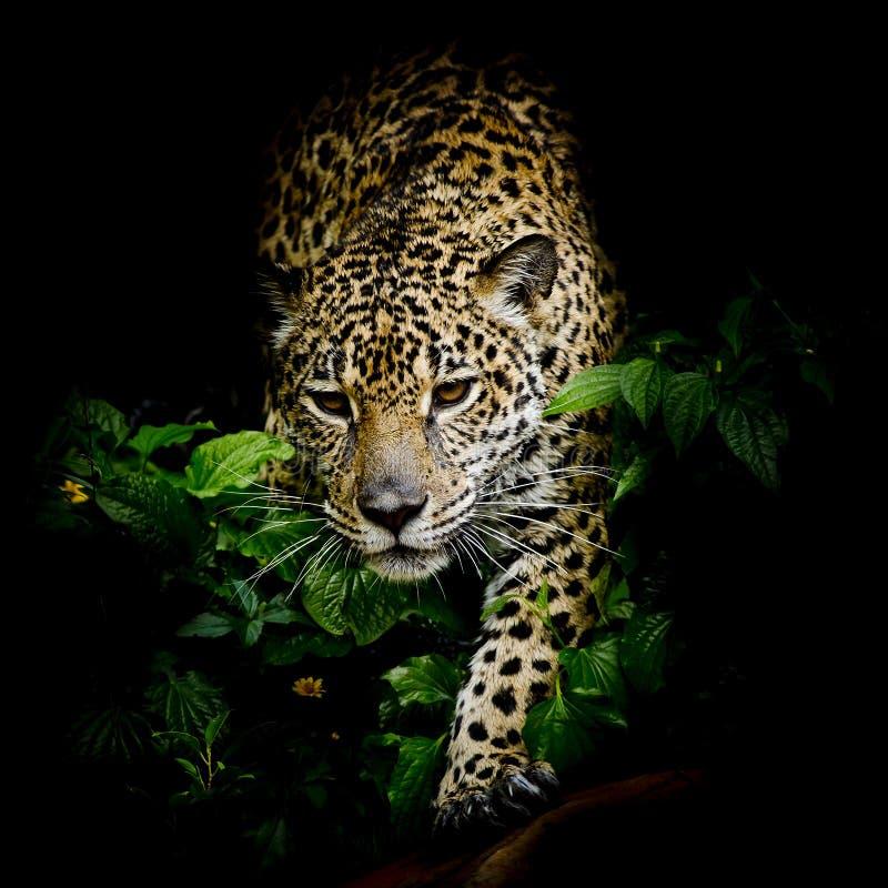 Close up Jaguar Portrait royalty free stock photography