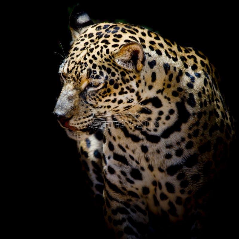 Head Jaguar Open Mouth Big Teeth Stock Photos