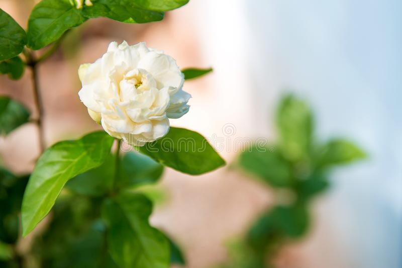 close up jasmine flower in a garden.beautiful jasmine white flowers, summer time photo.Jasmine white flowers and green leaves on b stock photos