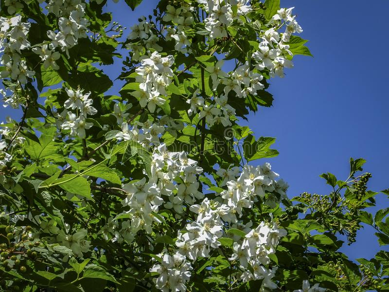 Close up of jasmine flowers Philadelphus lewisii on the bush on the blue sky in the spring sunny. Garden. Selective focus royalty free stock image